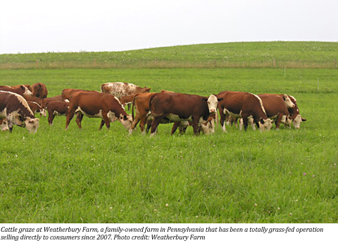 weatherbury-farms-cattle
